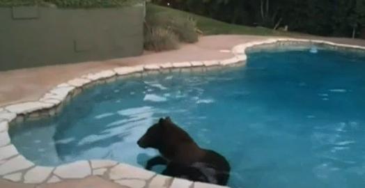 Bear in Sierra Madre Pool
