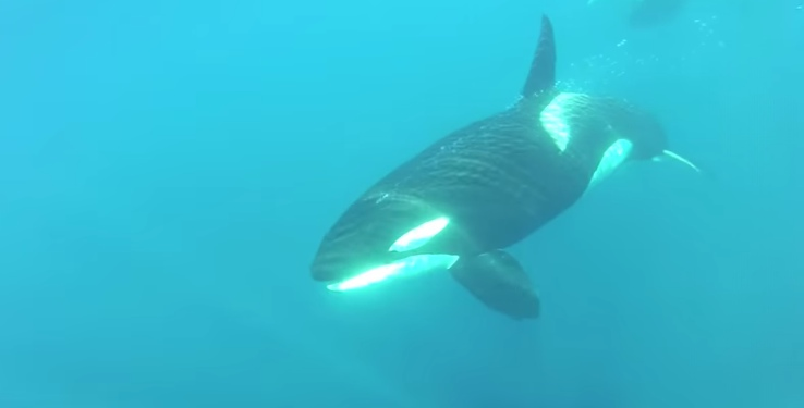 Orcas Encountered Off Coast of Palos Verdes