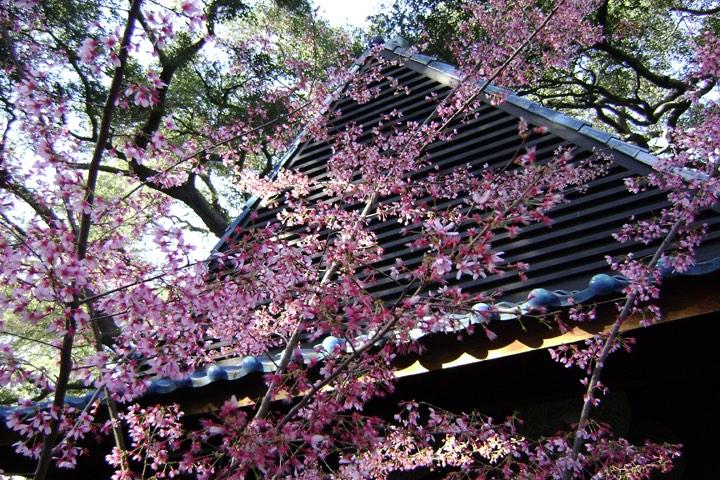 Descanso Gardens 2016 Cherry Blossom Festival