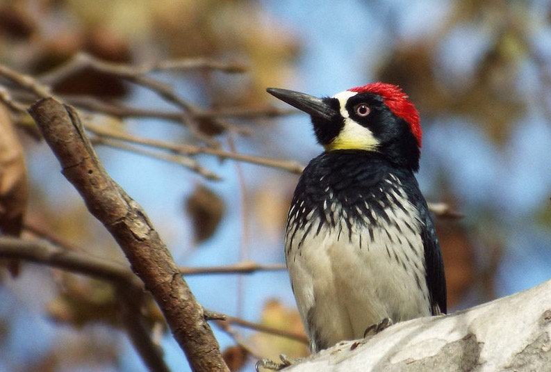 Acorn Woodpecker in Griffith Park