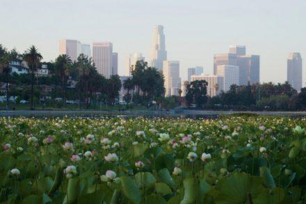 Echo Park Lake Lotus Flowers