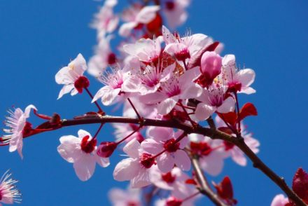 Cherry Blossom Festival at South Coast Botanic Garden