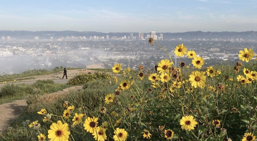 Baldwin Hills Scenic Overlook Bloom
