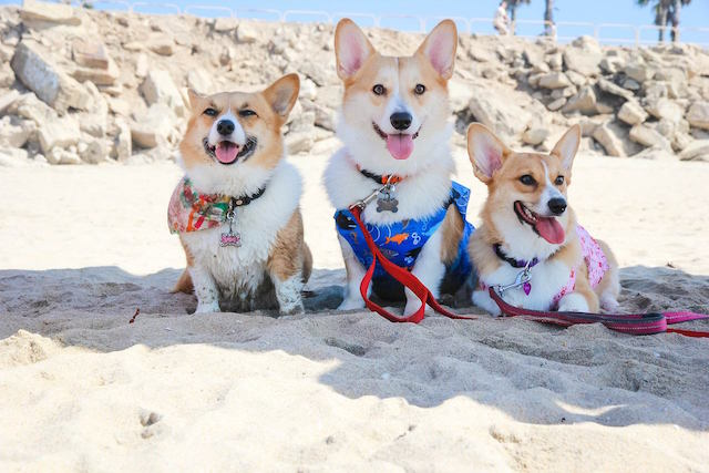 SoCal Corgi Beach Day