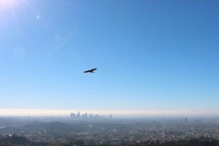 Bird in flight Griffith Park