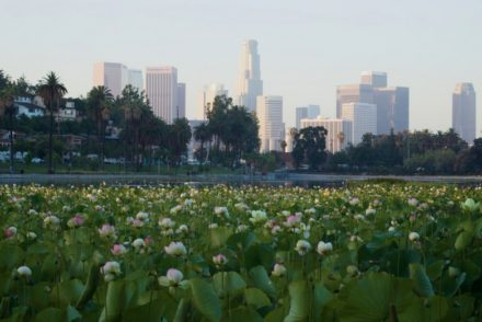 Echo Park Lake Lotus Flowers