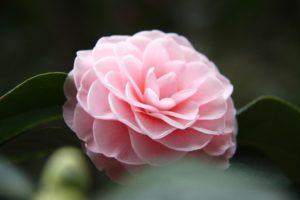 camellia and tea festival descanso gardens