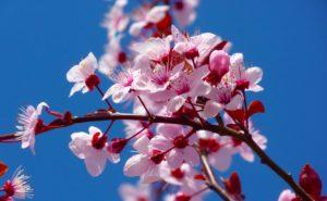 Cherry Blossom Festival at South Coast Botanic Garden