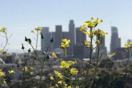 Wildflowers overlooking DTLA.