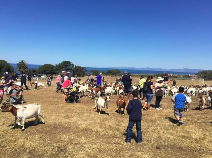 Meet the Goats 2018 in Rancho Palos Verdes