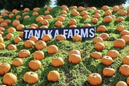 tanaka-farms-pumpkin-experience